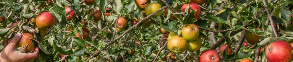 apples ready to be picked