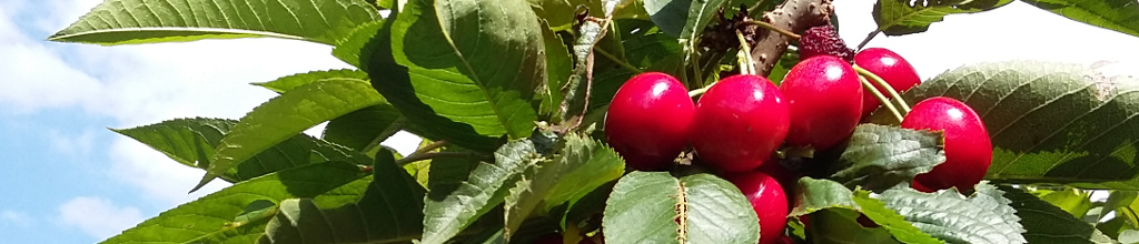 growing cherries
